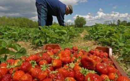 Peste 500 de locuri de muncă la cules de căpşuni, în Spania, cu 40 de euro pe zi